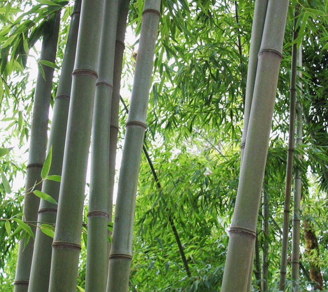 phyllostachys nigra henonis ist ein bambus aus der gruppe. Black Bedroom Furniture Sets. Home Design Ideas